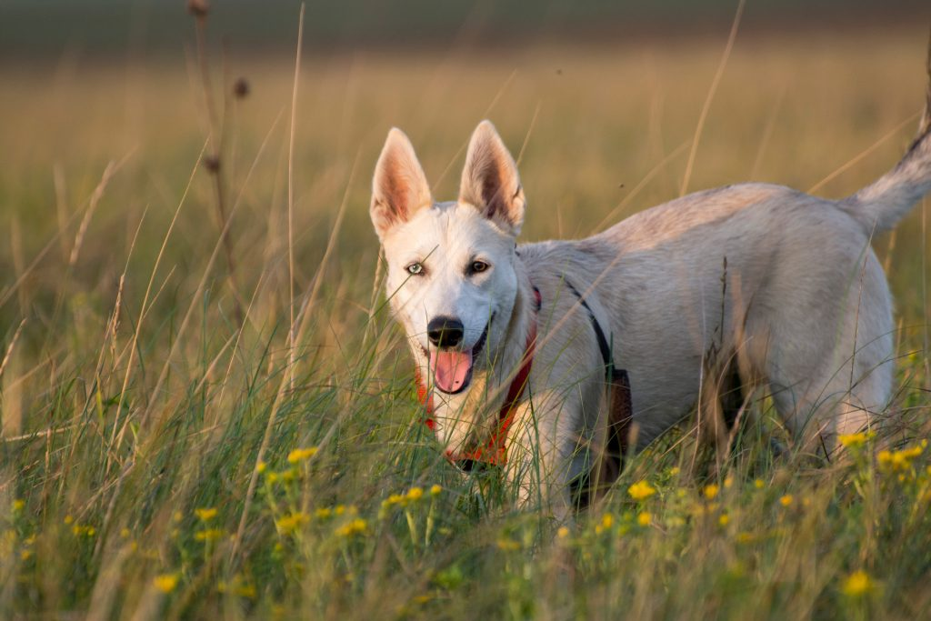 husky german shepherd mix