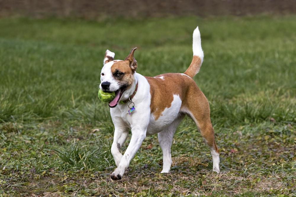 playful boxer labrador mix