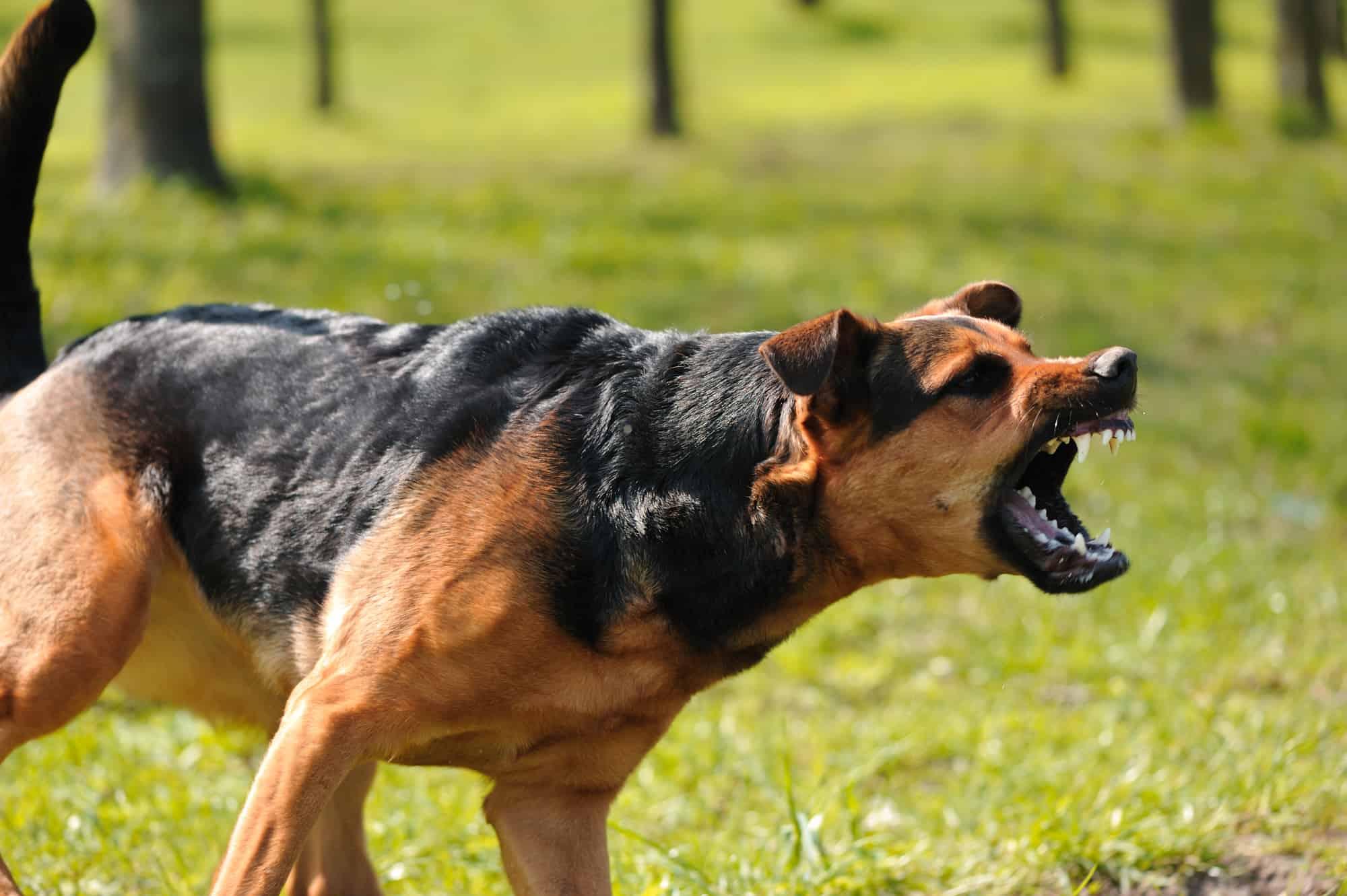 calming an aggressive dog
