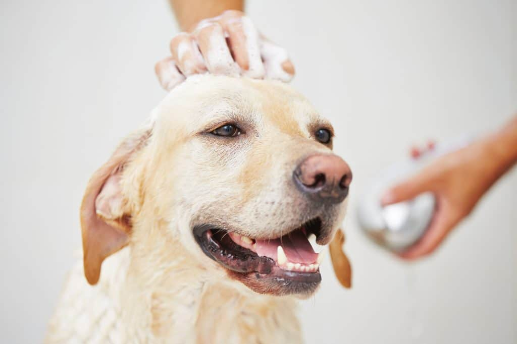 home remedies for fleas on dog