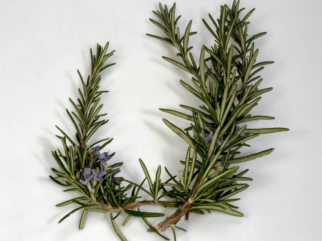 rosemary for flea home remedy