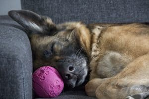 dog sleep german shepherd