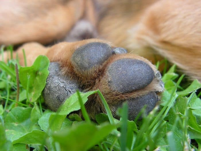 yeast infection dog paws