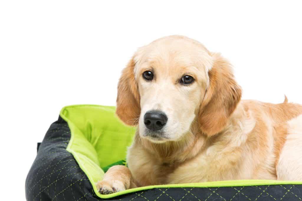 golden retriever on dog bed to avoid shedding