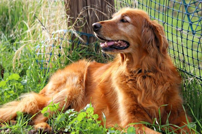 golden retriever history