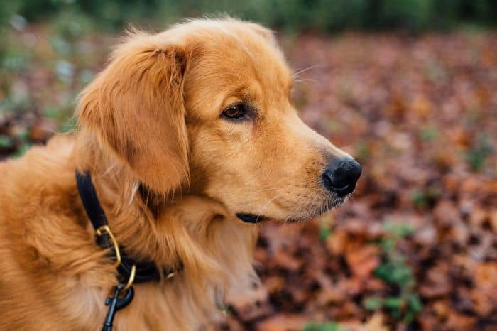 Golden Retriever Hair