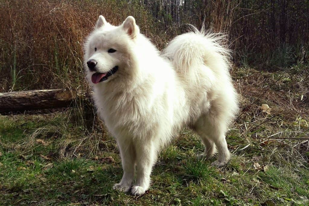 Big Fluffy Dog Breeds