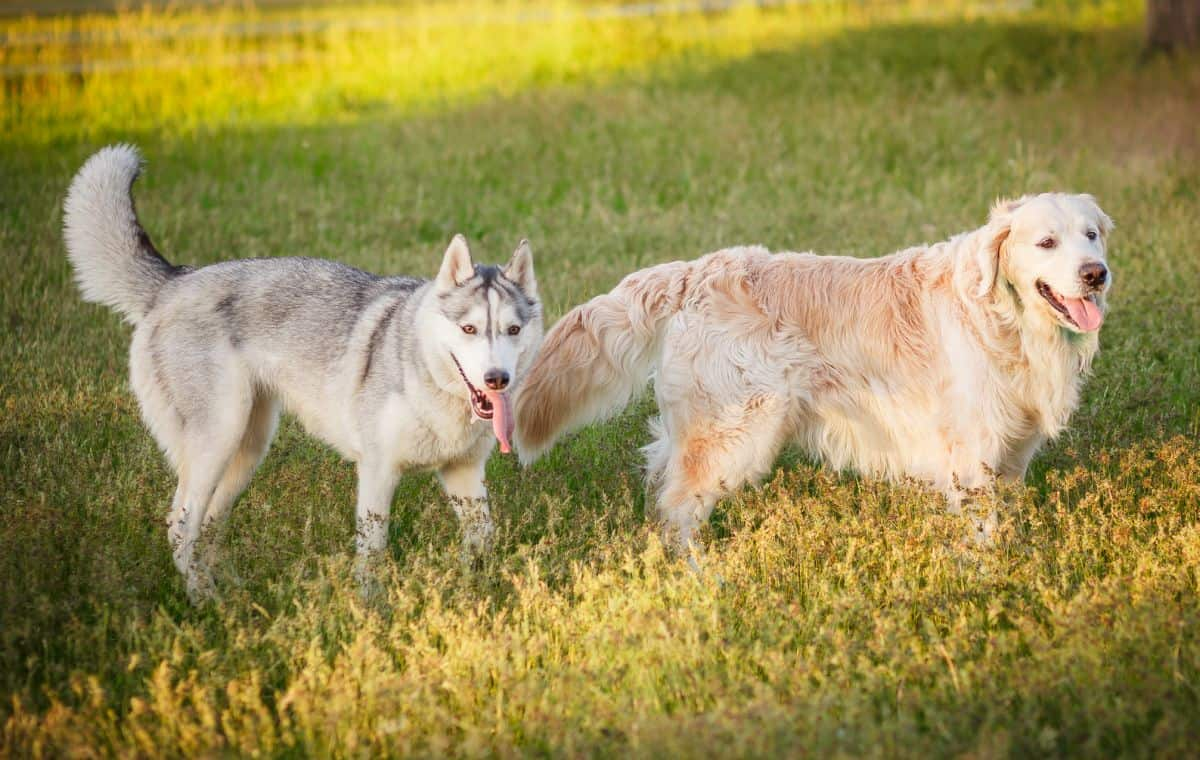 Golden Retriever Husky Mix Getting To Know The Goberian