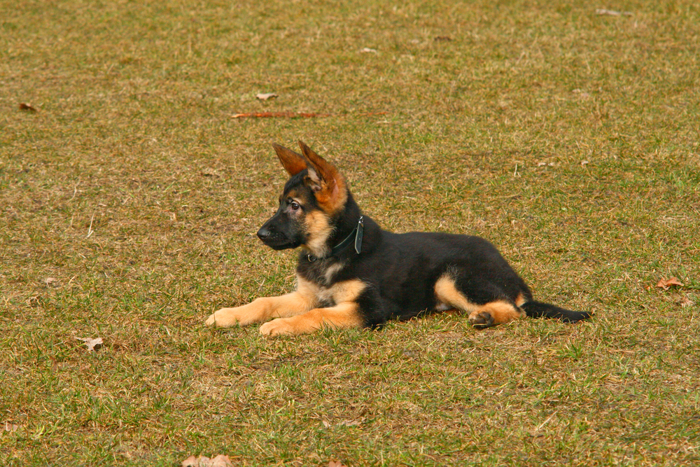 training your german shepherd puppy