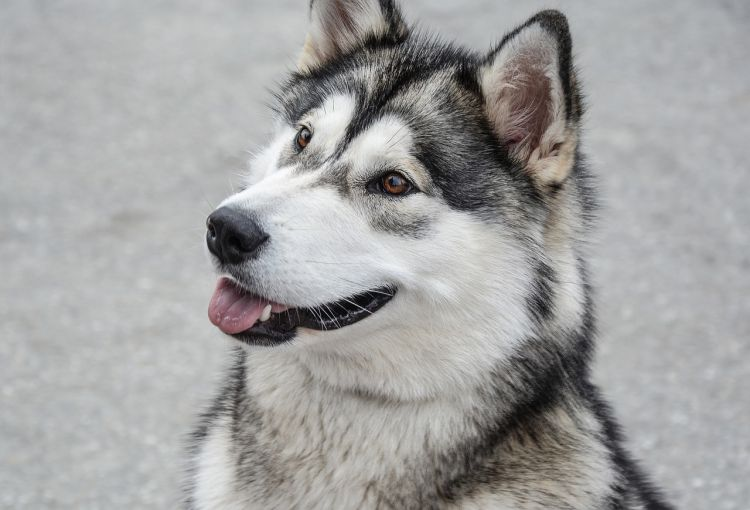 Are Malamutes Good Pets
