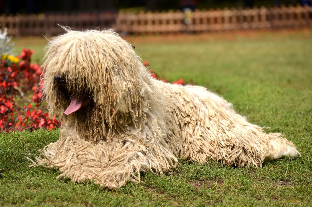 Komondor Breed