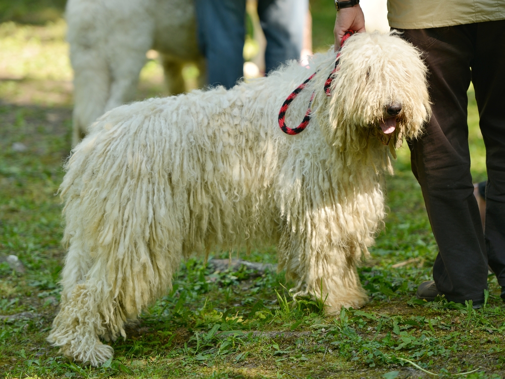 Komondor Traits