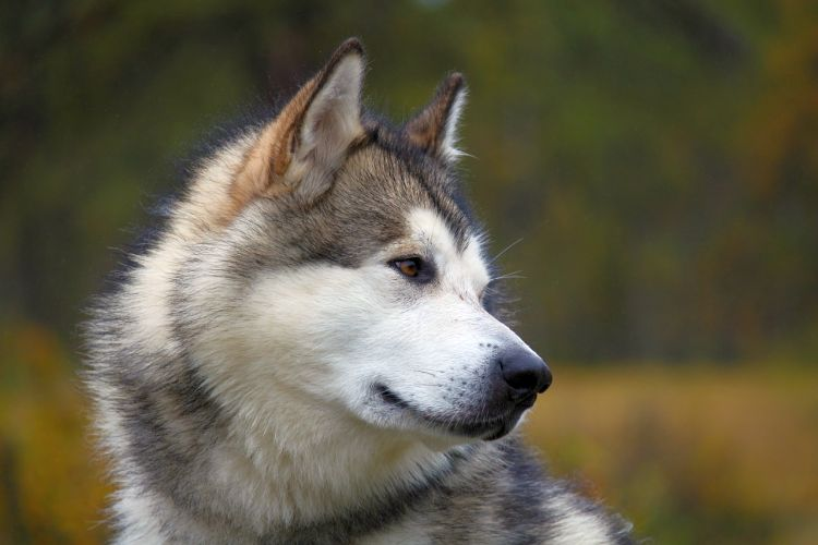 Malamute Traits