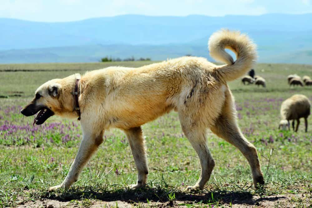 kurdish kangal