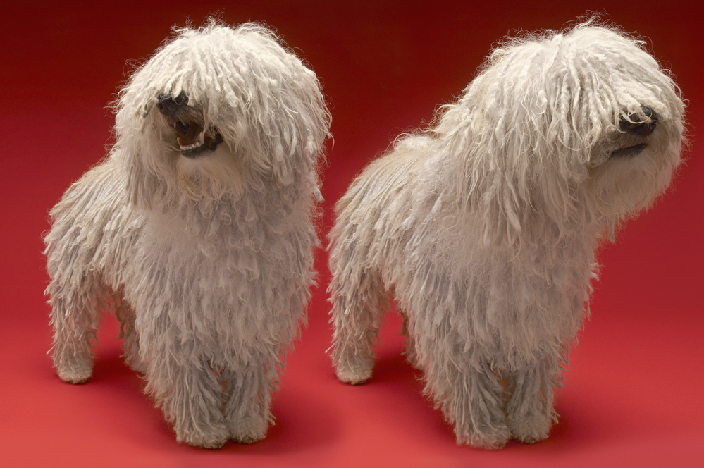 komondor dogs