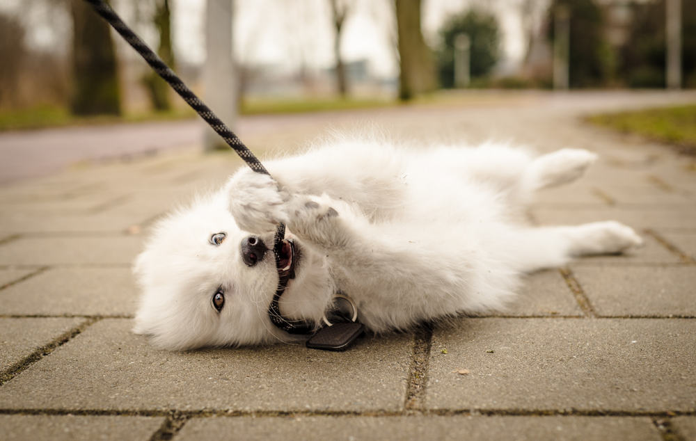 leash training puppy
