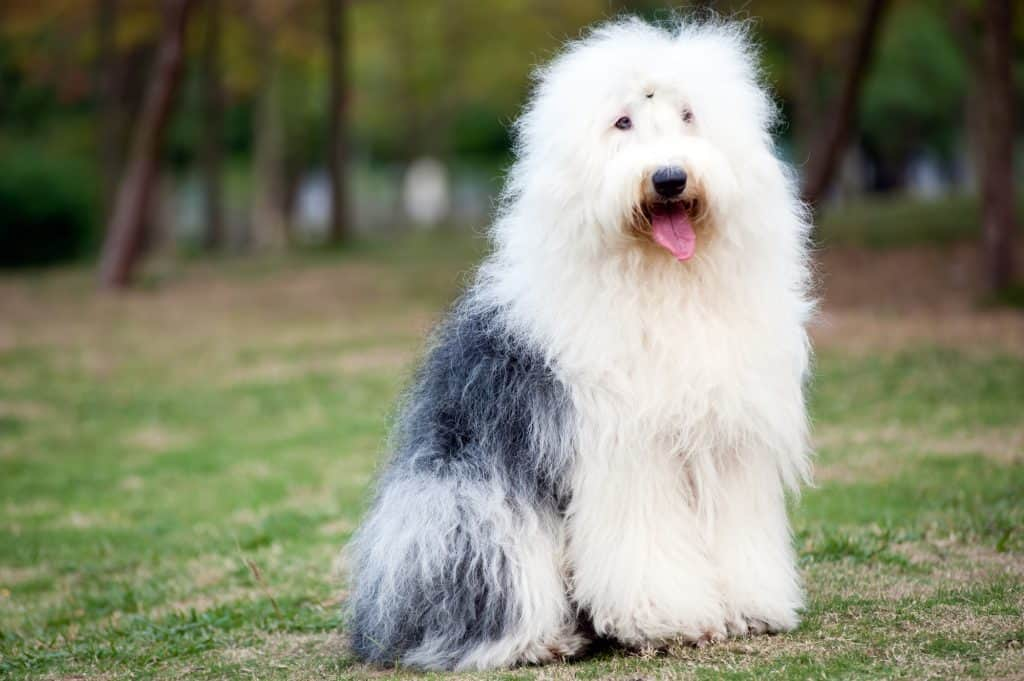 Sheepadoodle: Understanding the Sheepdog Poodle Mix