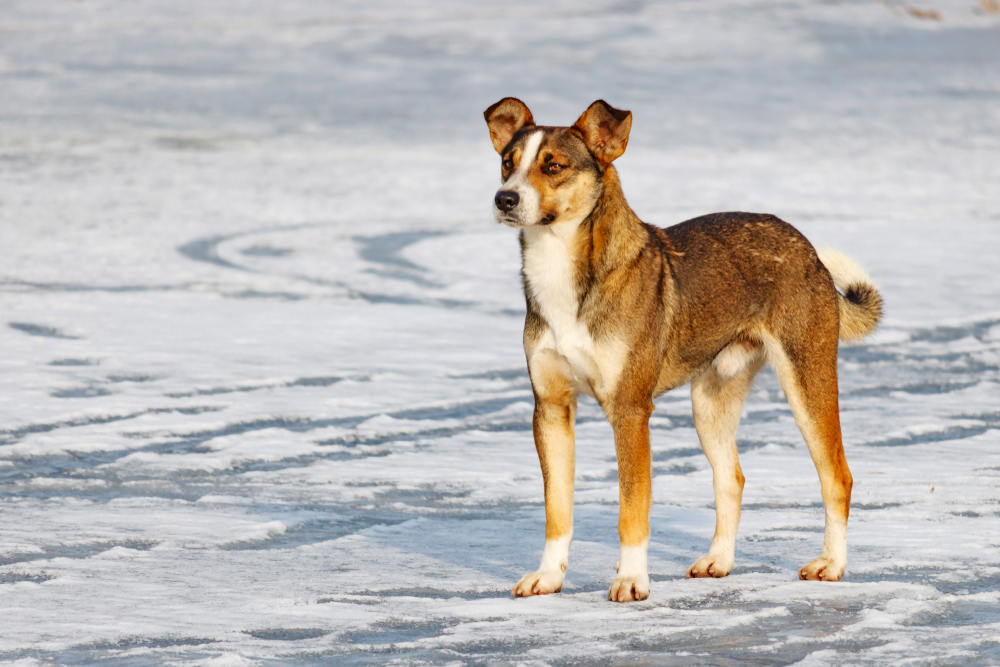protect dog paws in winter