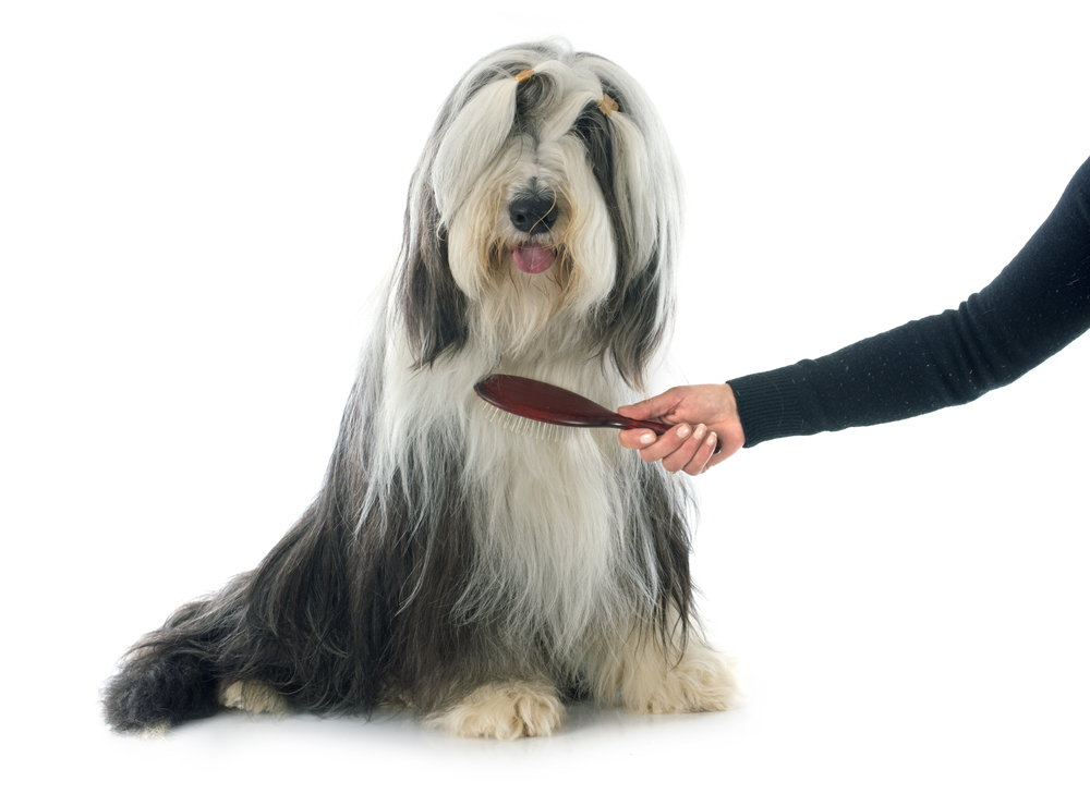 brushing bearded collie