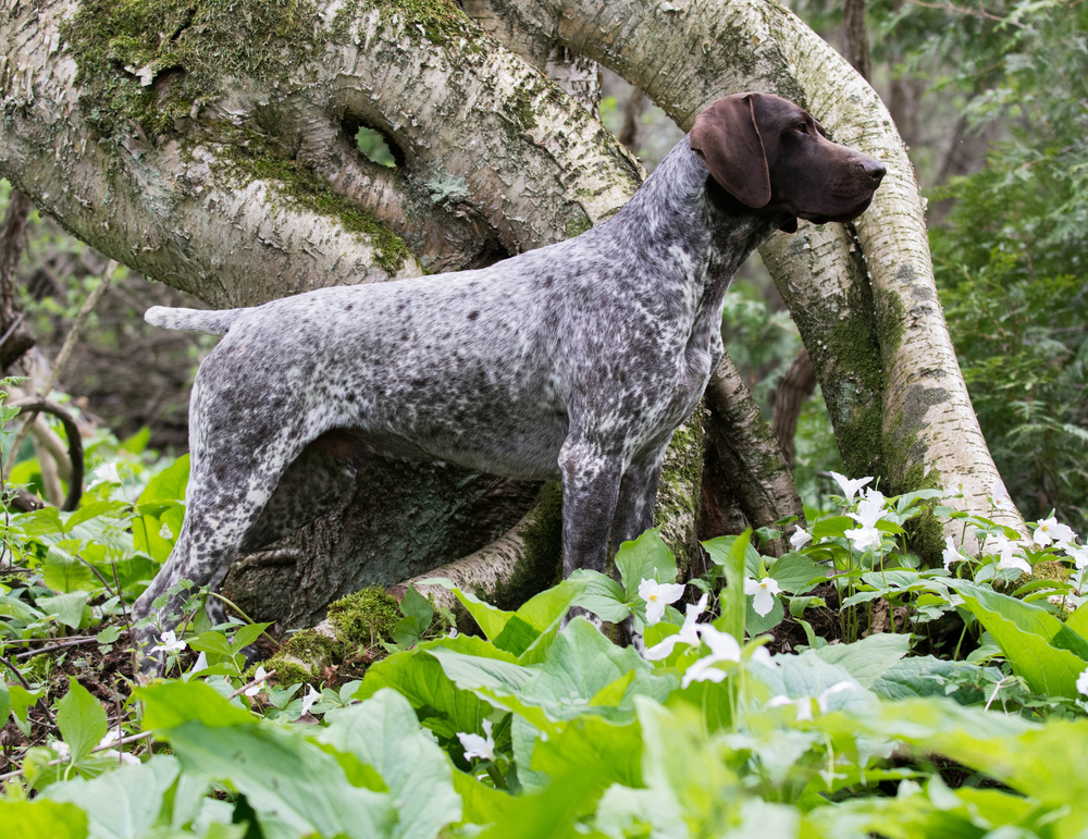 german shorthaired pointer size