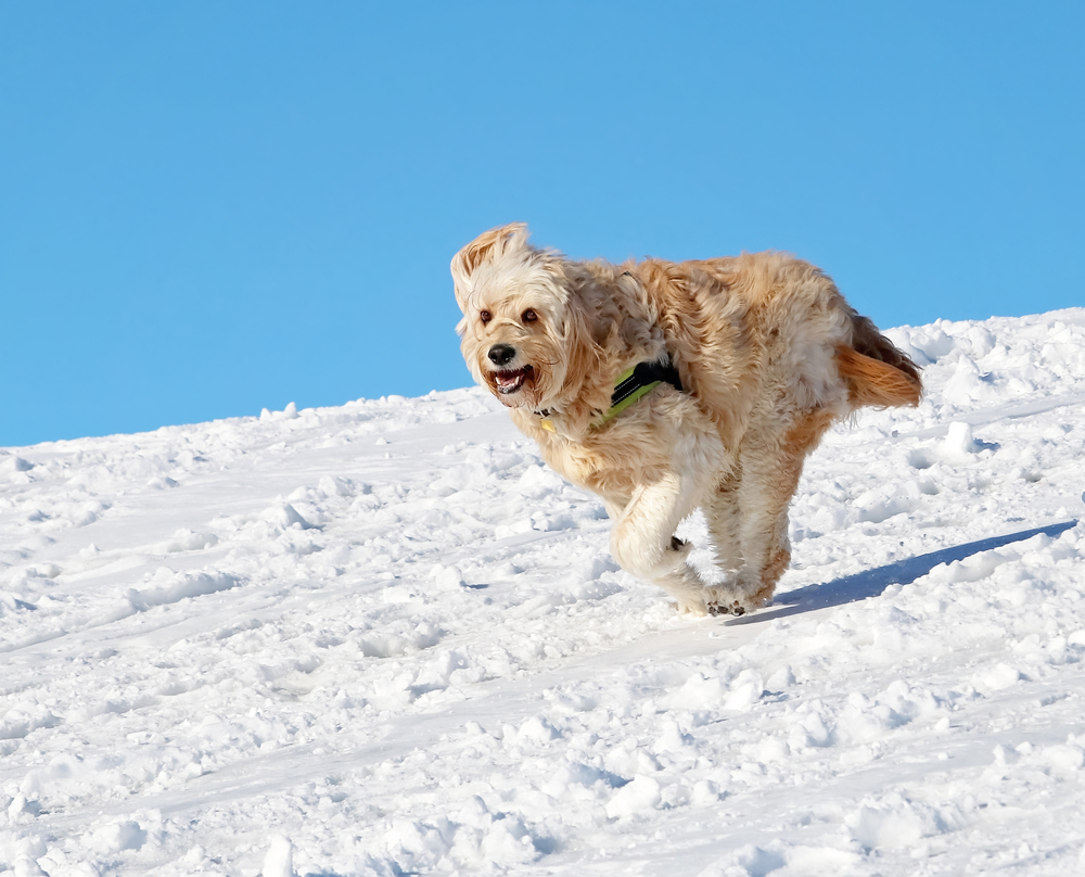 goldendoodle exercise