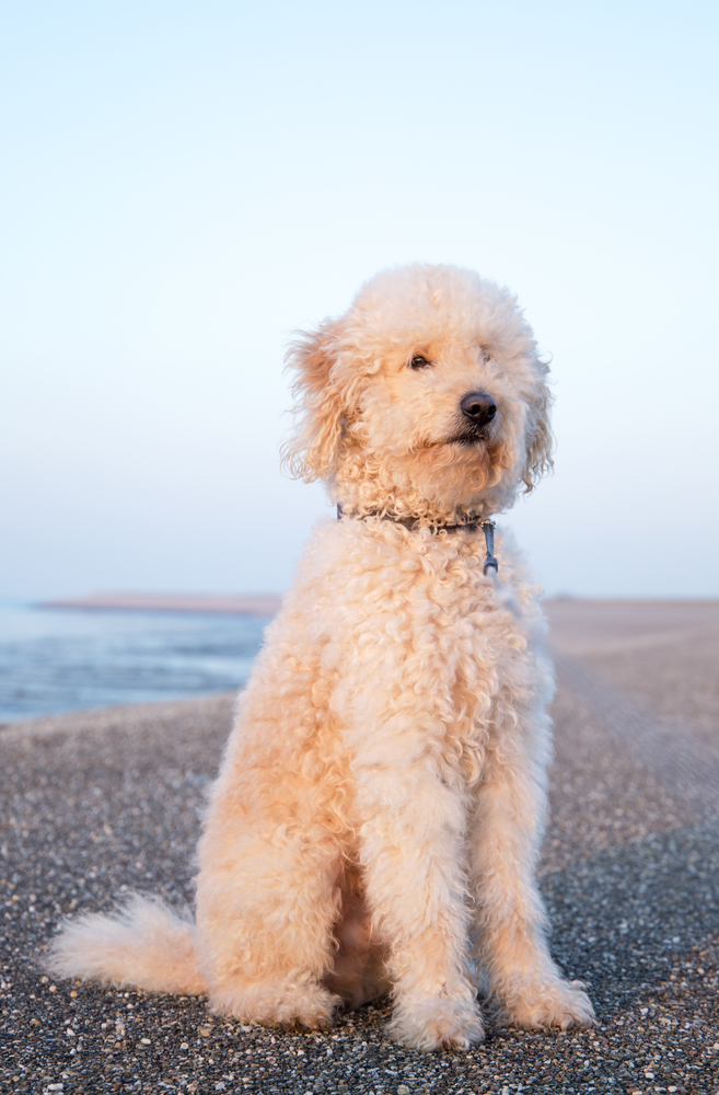 goldendoodle size