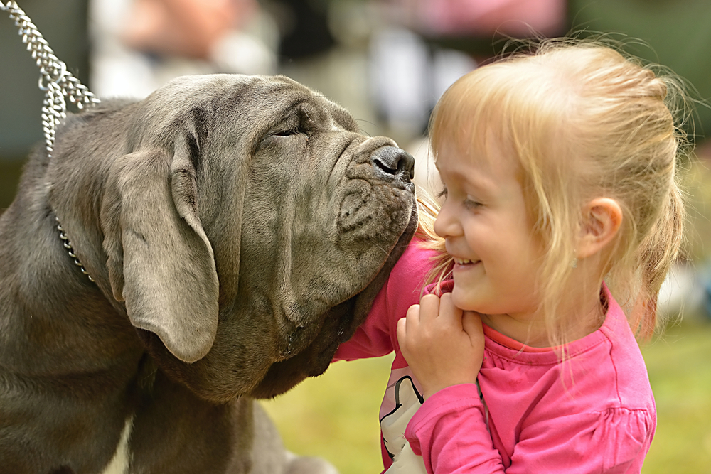 neapolitan mastiff temperament