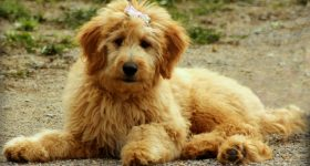 best brushes for goldendoodle