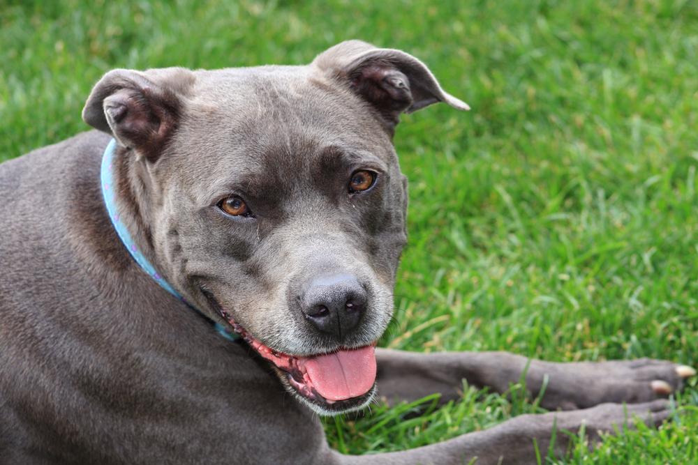 blue nose pit bull temperament
