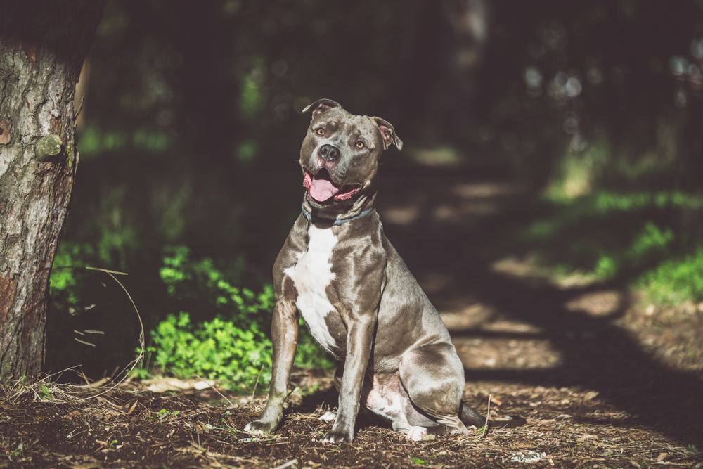 pit bull life expectancy