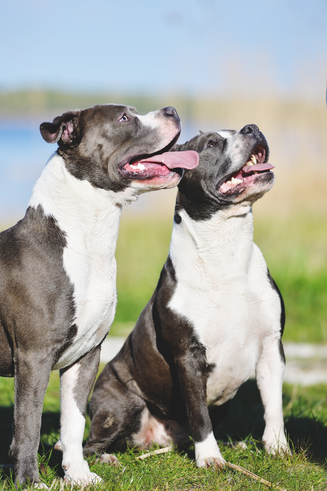 blue Staffordshire terrier