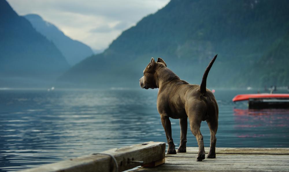 blue pitbull