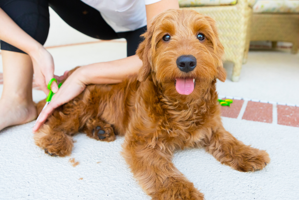 how to groom a goldendoodle