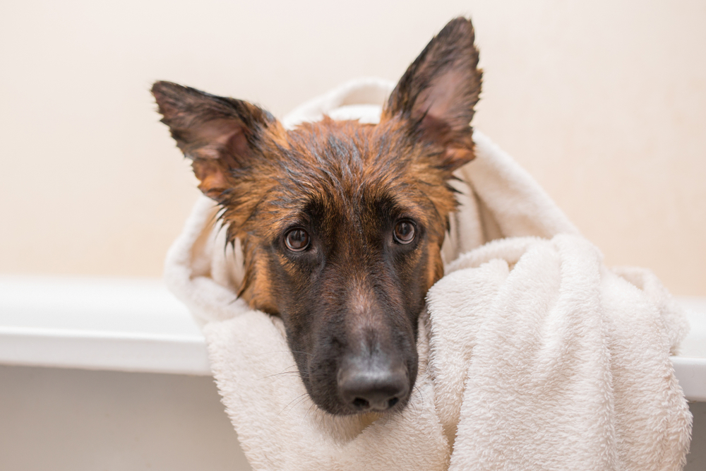 bathing a german shepherd
