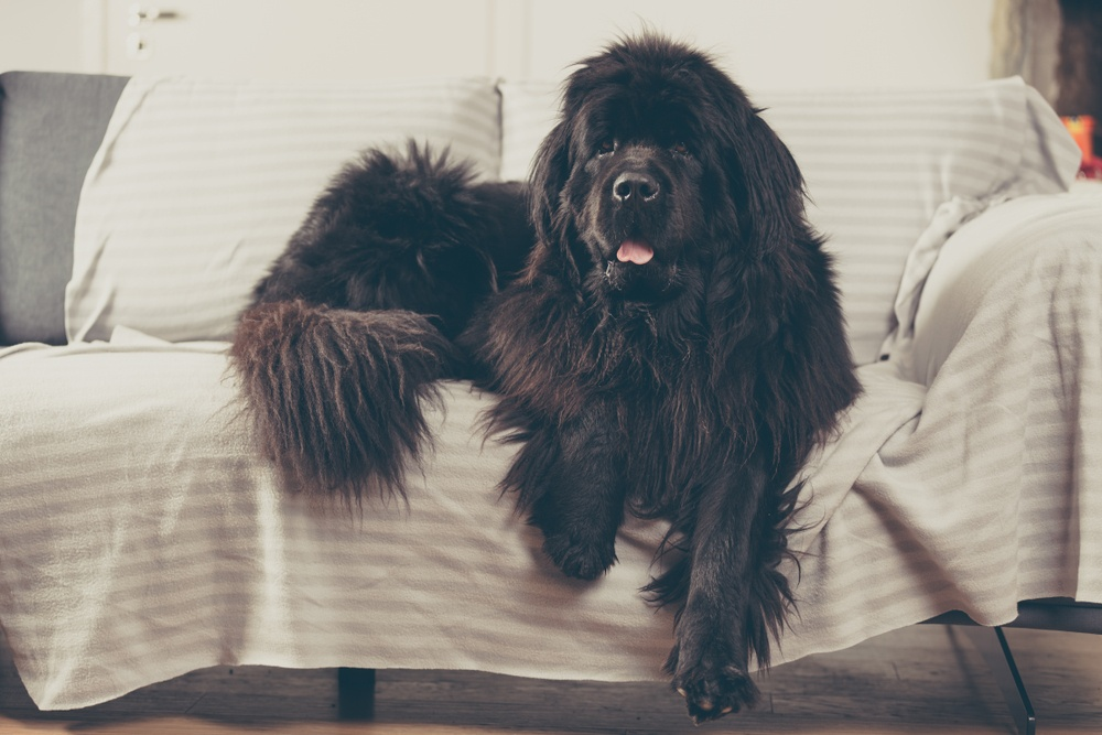 newfoundland dog at home