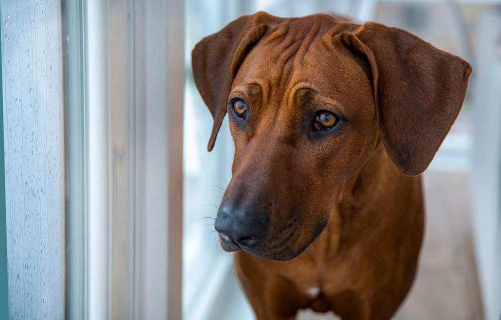 rhodesian ridgeback large apartment dog