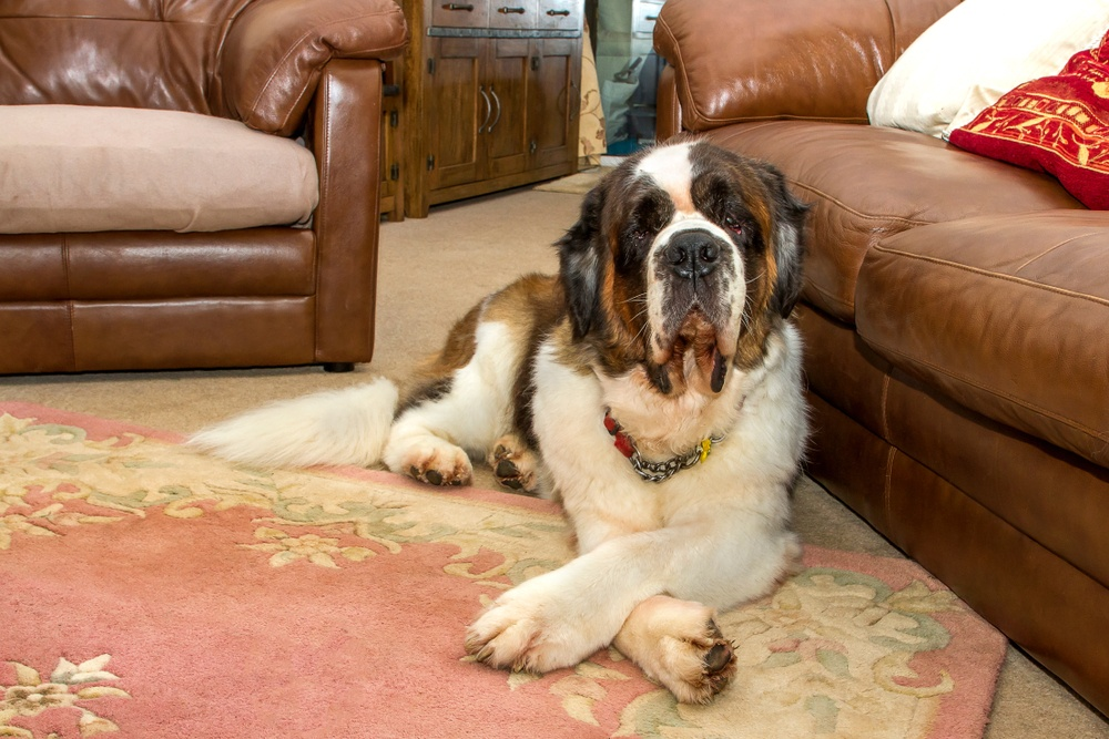 saint bernard in apartment
