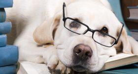 smartest large dog breeds