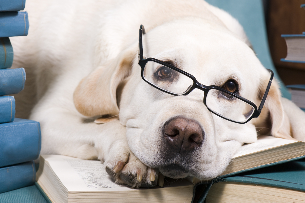smartest large dog breeds