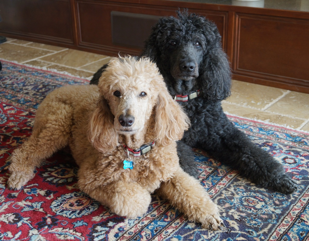 standard poodle apartment dogs