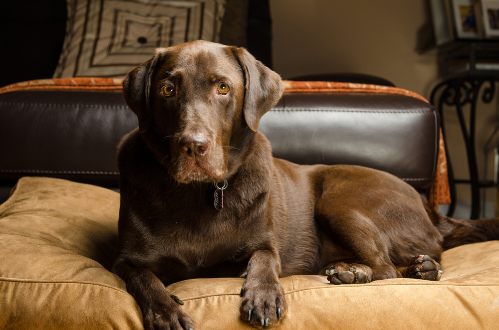 best dog bed for labradors