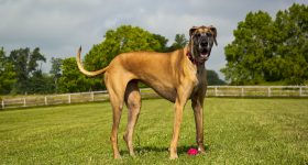 best dog food for a great dane