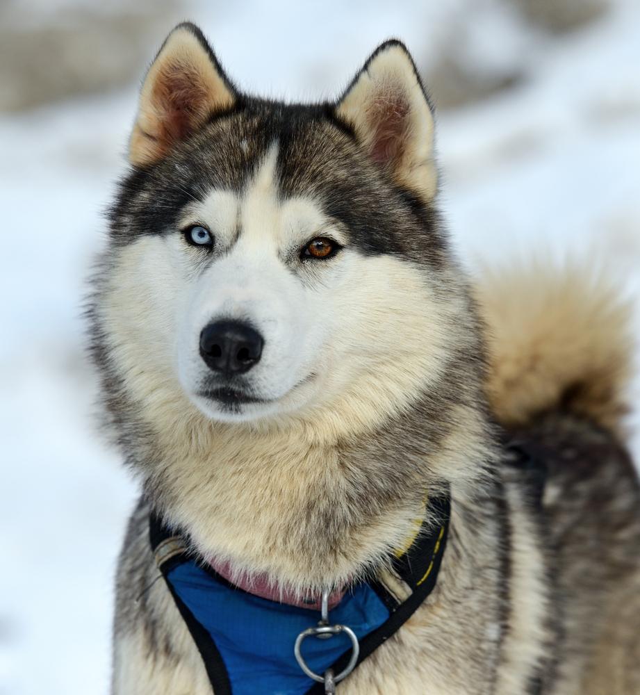 husky dog eye color