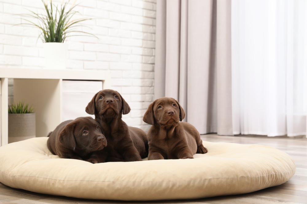 labrador dog beds
