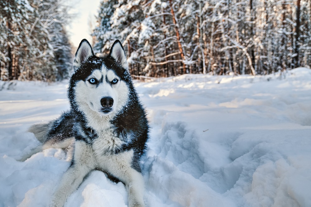 why do huskies have blue eyes