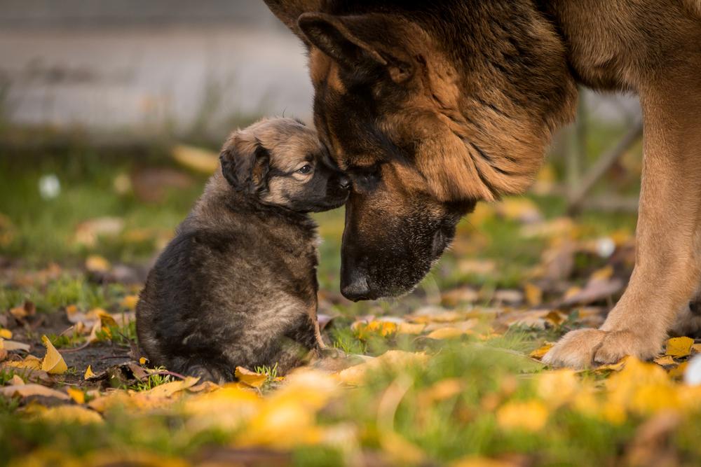 german shepherd lifespan