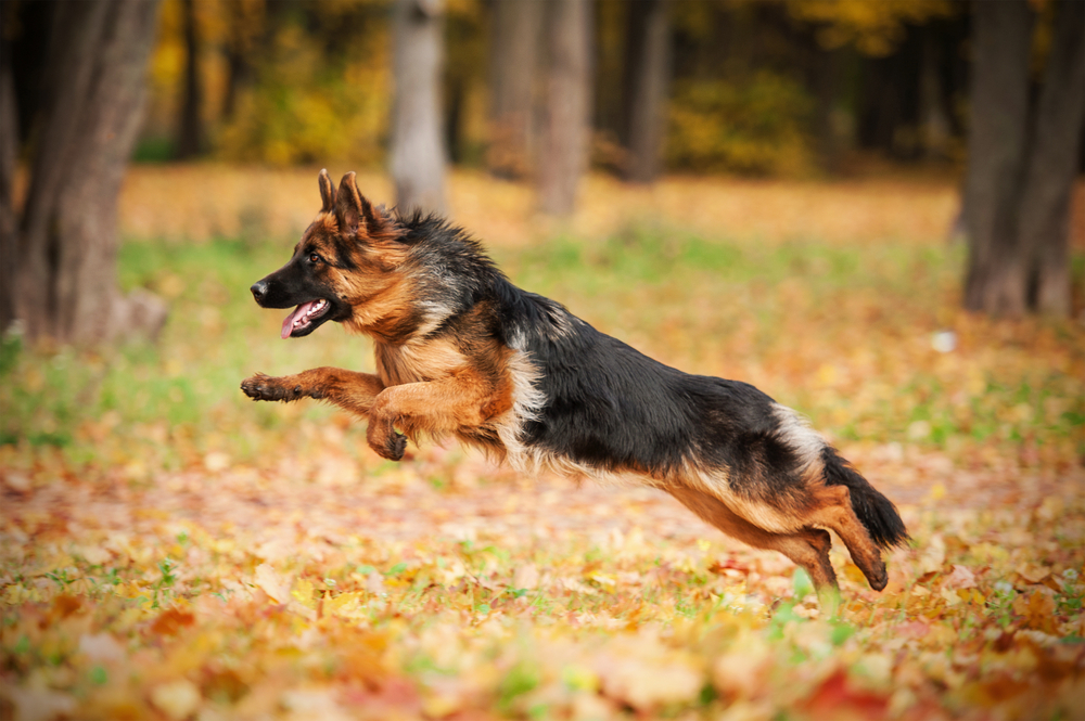 how long do german shepherds live