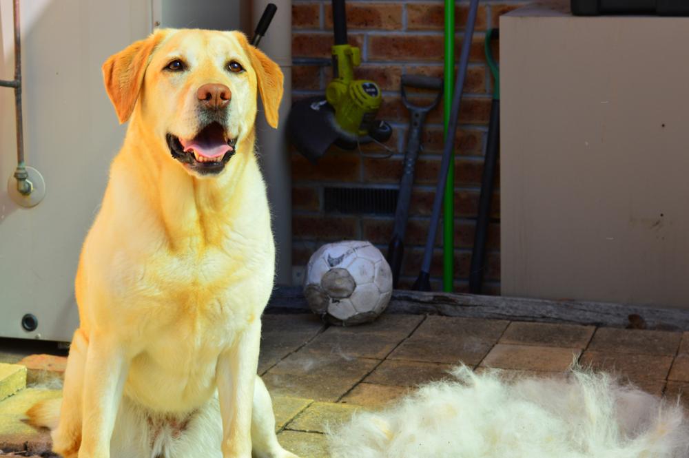 worst shedding dog labrador