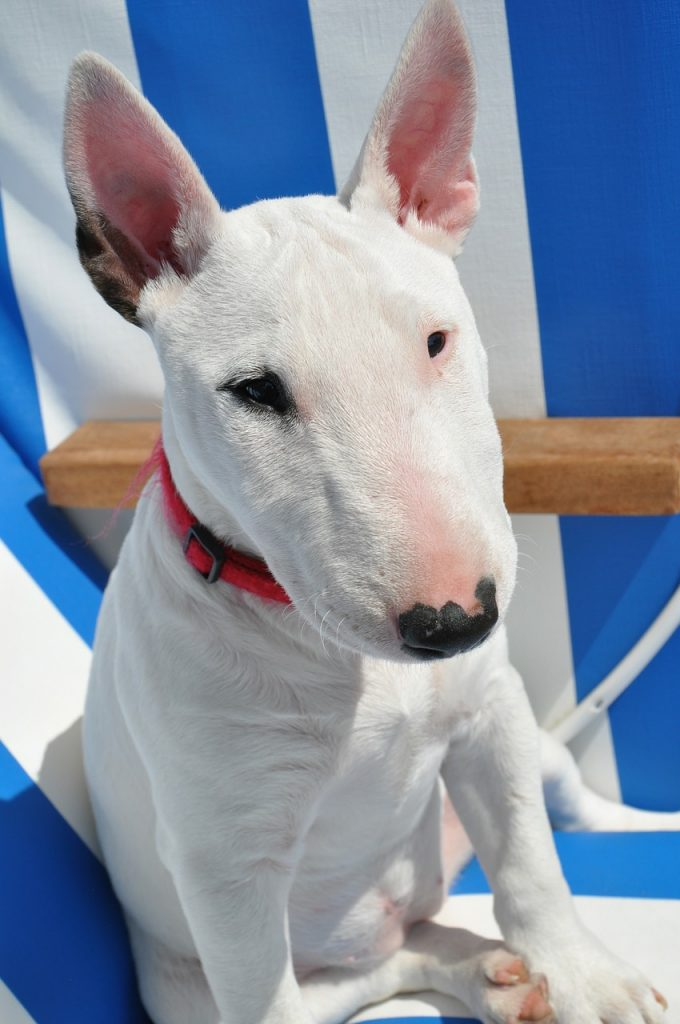 Bull Terrier Rare Pitbull Breed