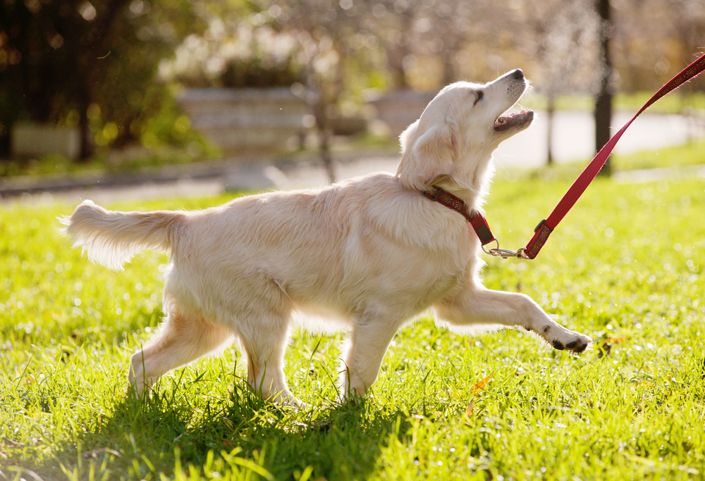 best dog food for golden retriever puppy